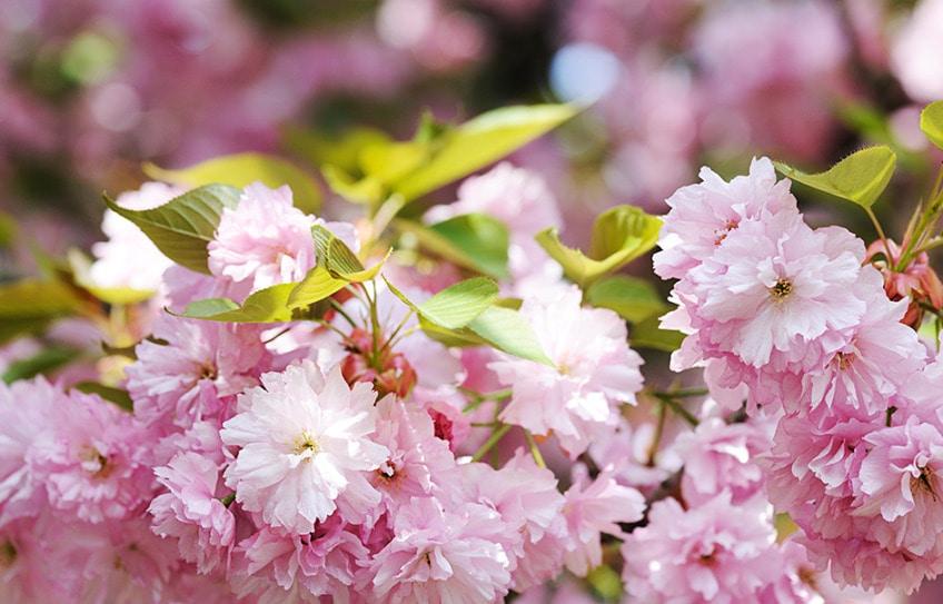 kirschblüte zeichnen