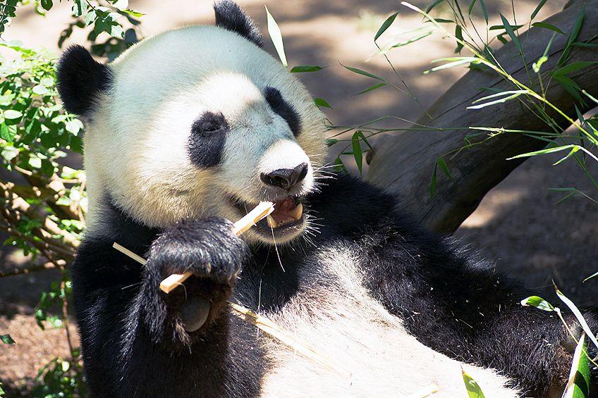 panda zeichnung