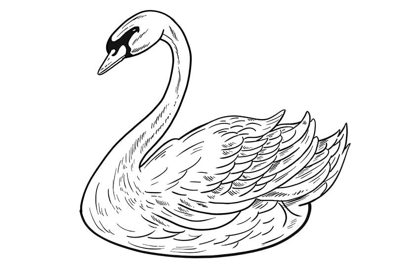 schwan zeichnen schritt 11