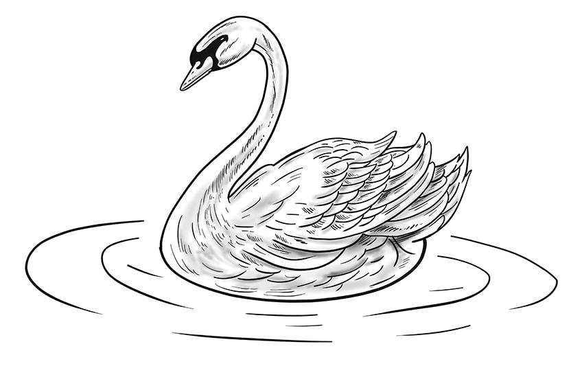 schwan zeichnung