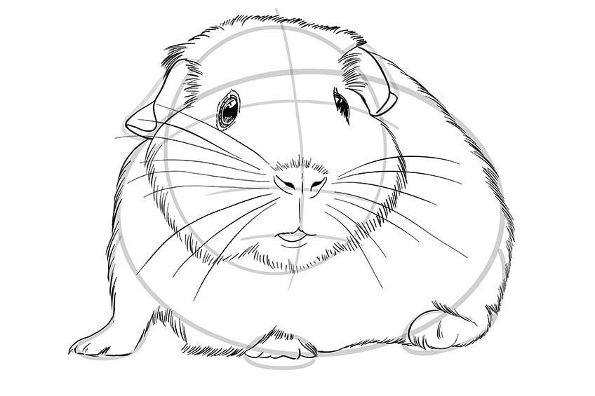 Meerschweinchen zeichnen Schritt-08