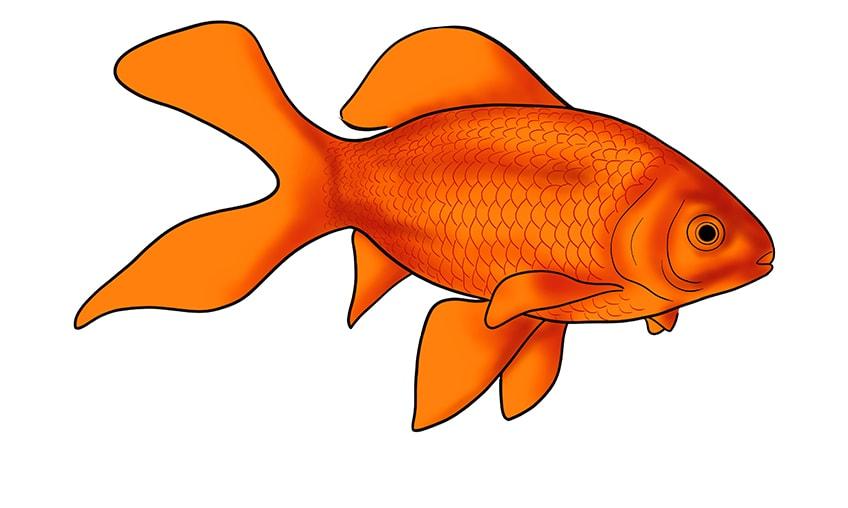 goldfisch zeichnen 13