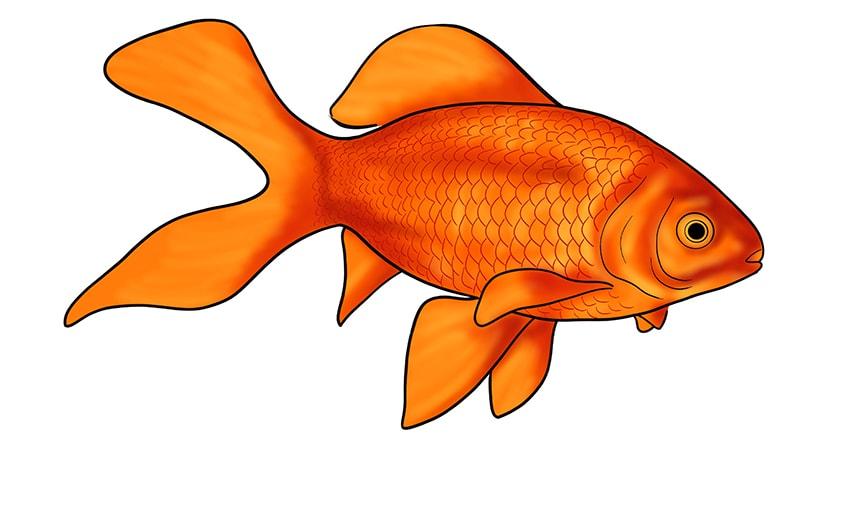 goldfisch zeichnen 14