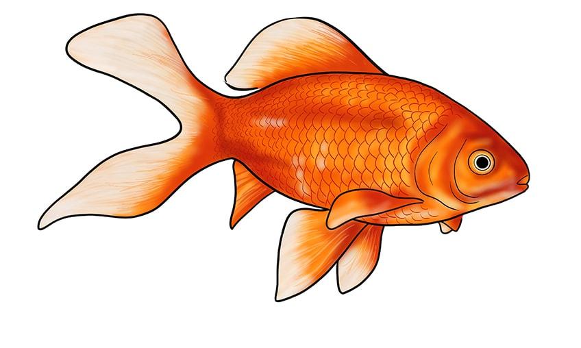 goldfisch zeichnen 16