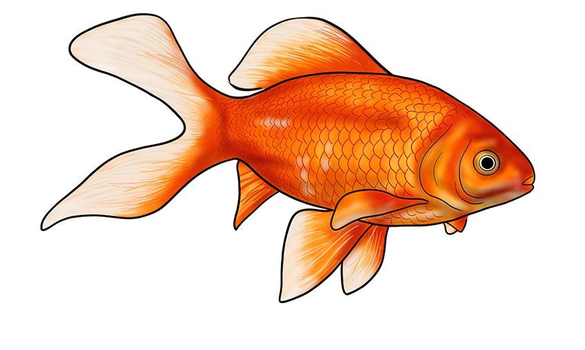 goldfisch zeichnen 17