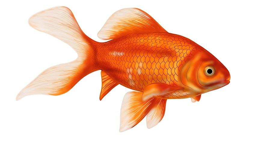 goldfisch zeichnung