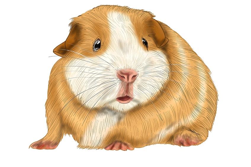meerschweinchen malen