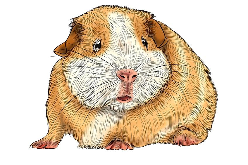 meerschweinchen skizze