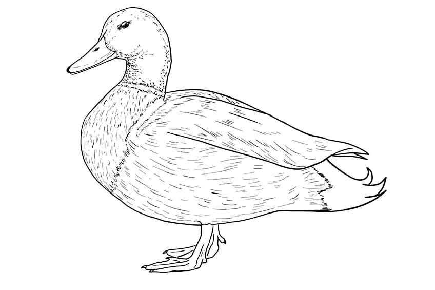 Ente zeichnen 09
