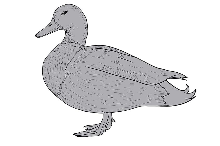 Ente zeichnen 10