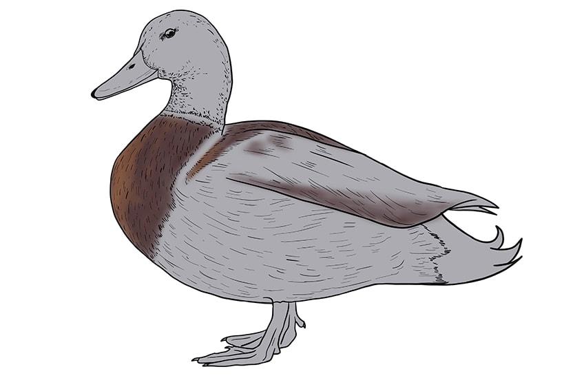 Ente zeichnen 11