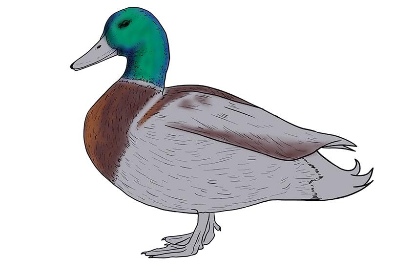 Ente zeichnen 12
