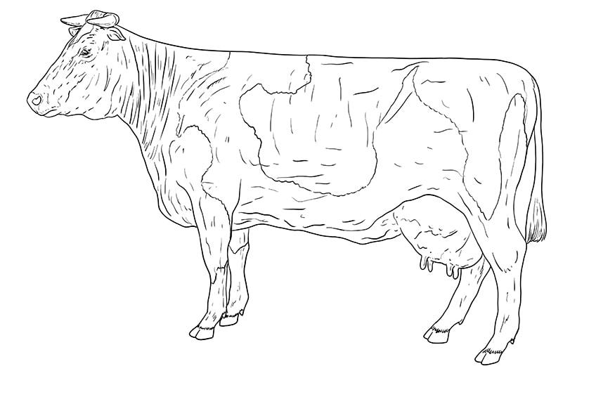 Kuh zeichnen 11