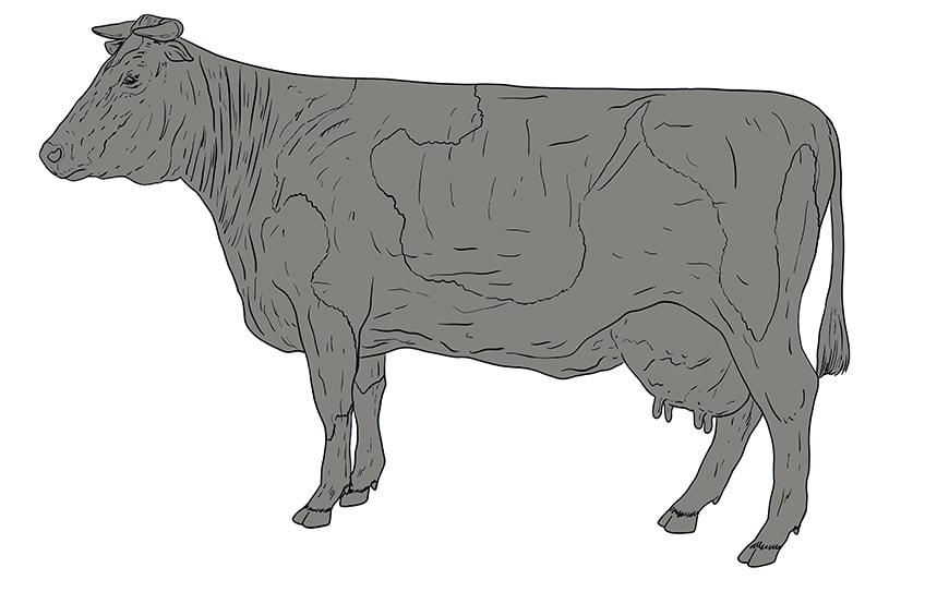 Kuh zeichnen 12