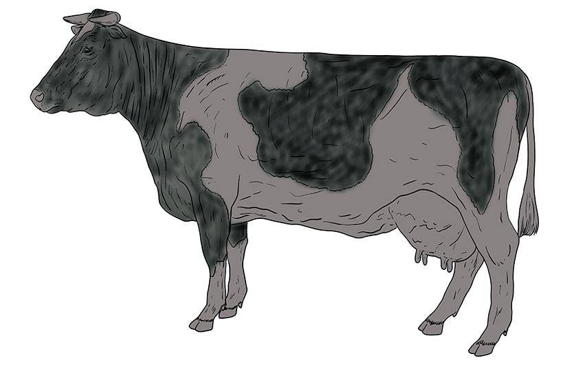 Kuh zeichnen 13
