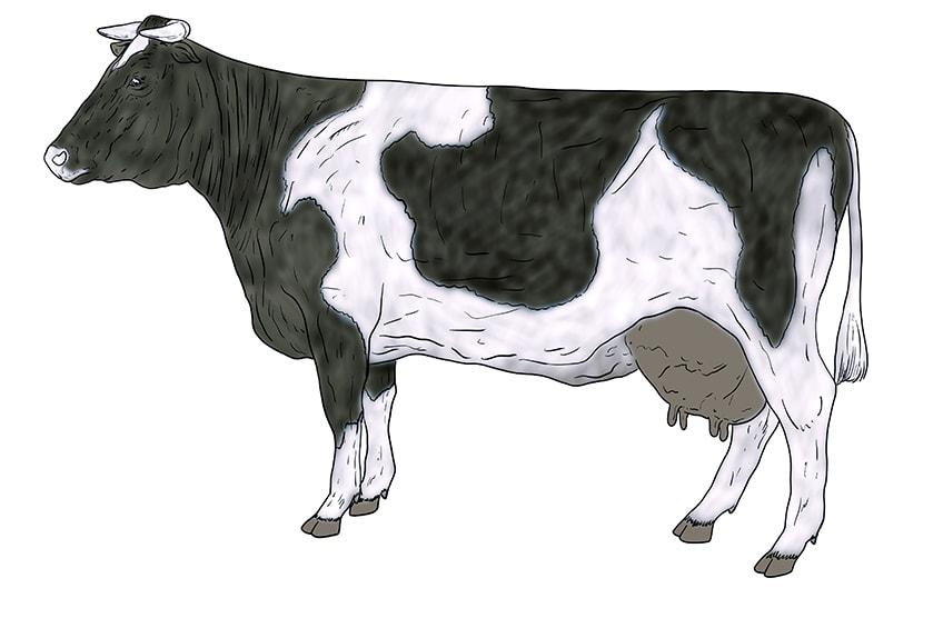 Kuh zeichnen 14