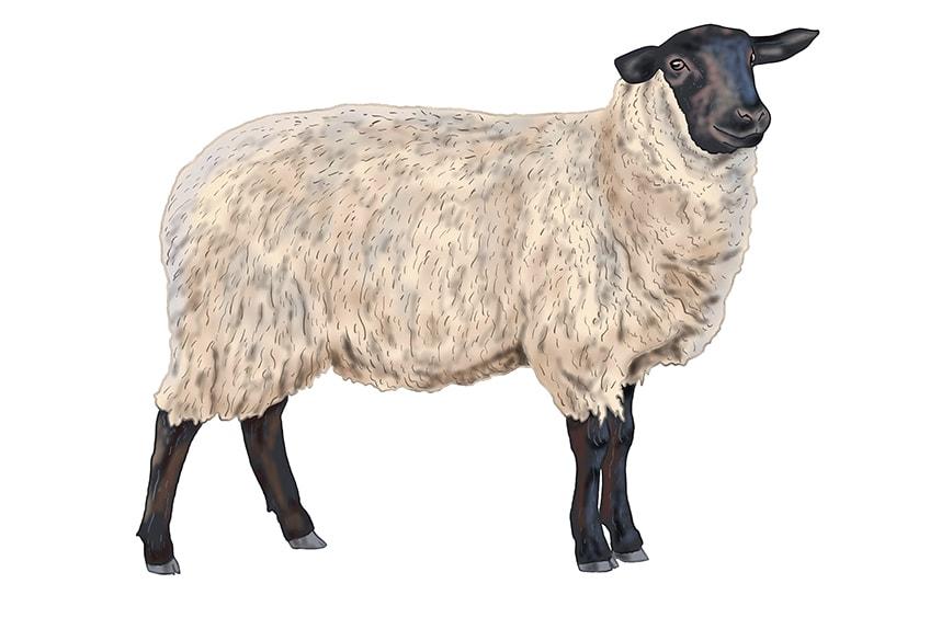 Schaf malen