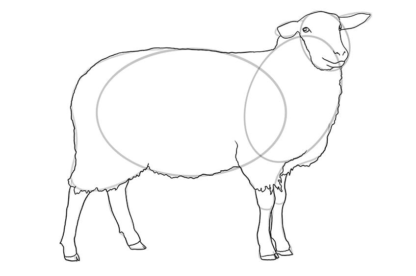 Schaf zeichnen 08