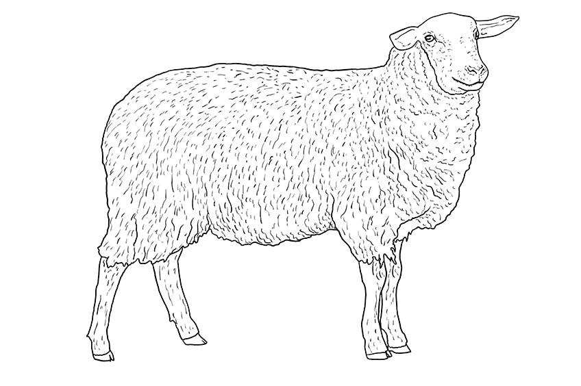 Schaf zeichnen 09