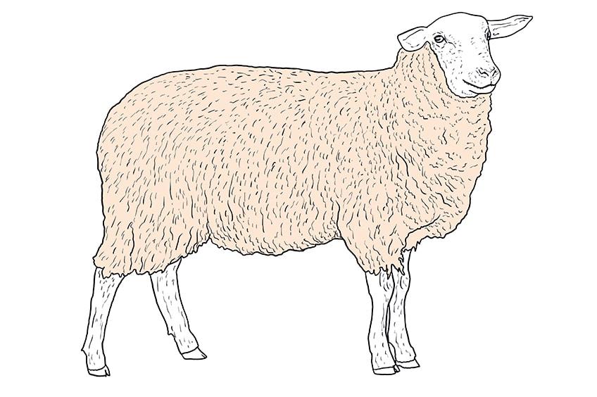 Schaf zeichnen 10