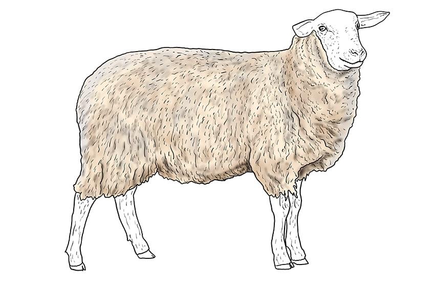 Schaf zeichnen 11