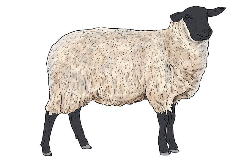 Schaf zeichnen 12