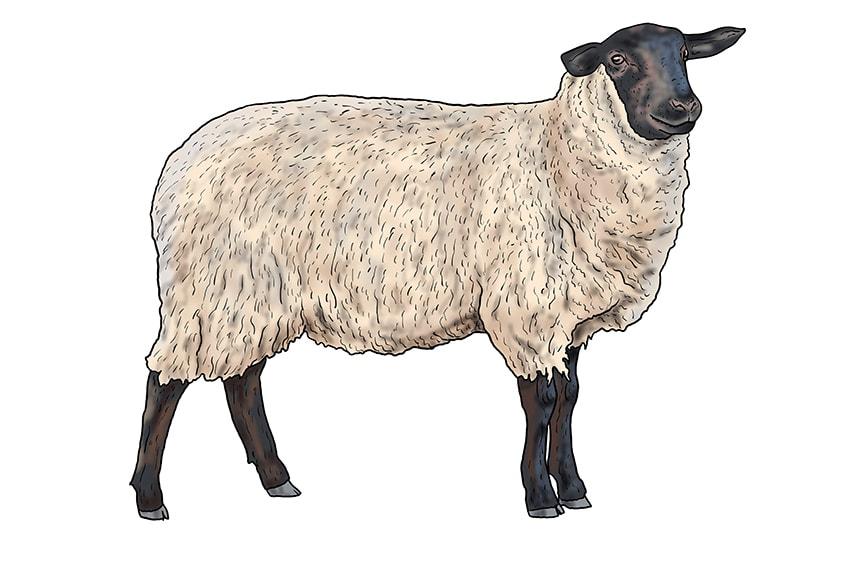 Schaf zeichnen 13