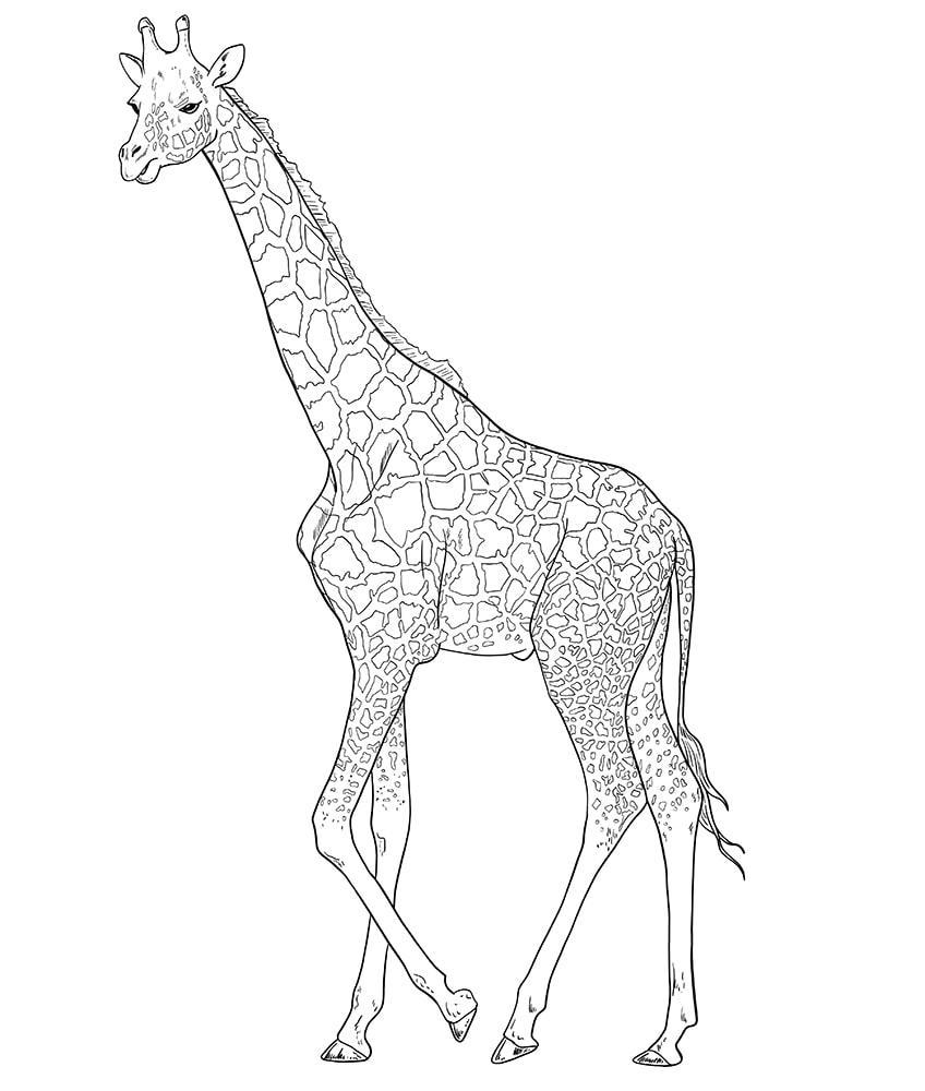giraffe zeichnen 11