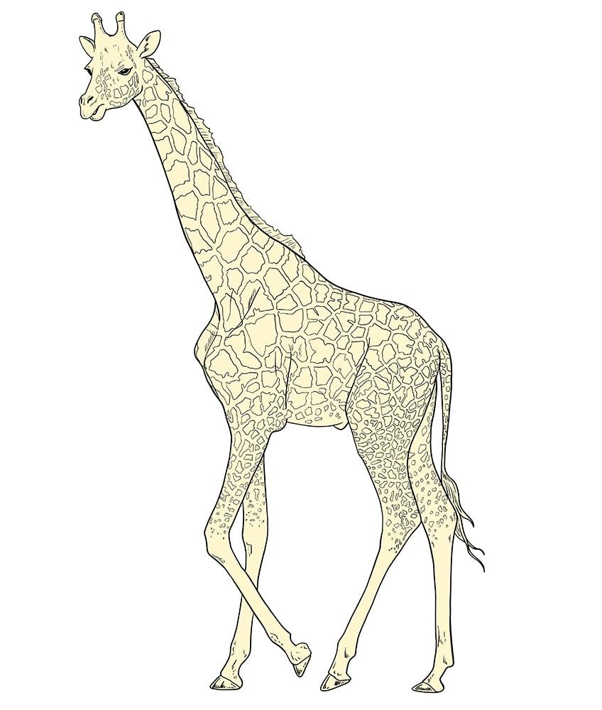 giraffe zeichnen 12