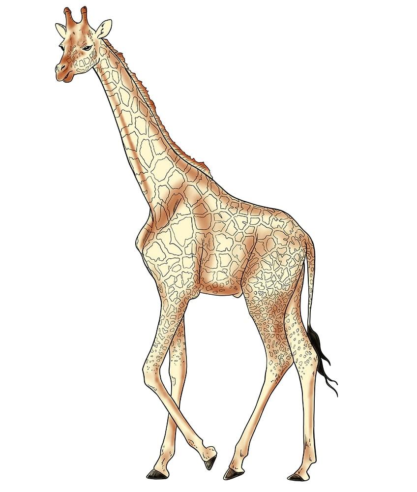 giraffe zeichnen 13
