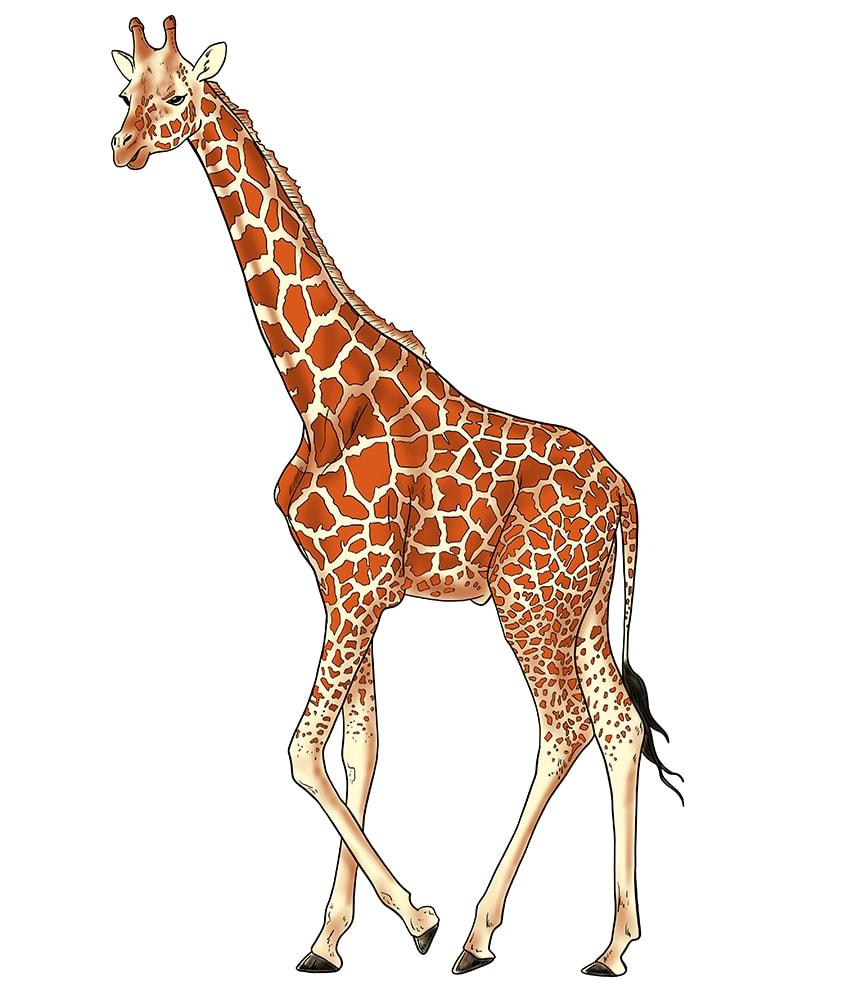 giraffe zeichnen 15